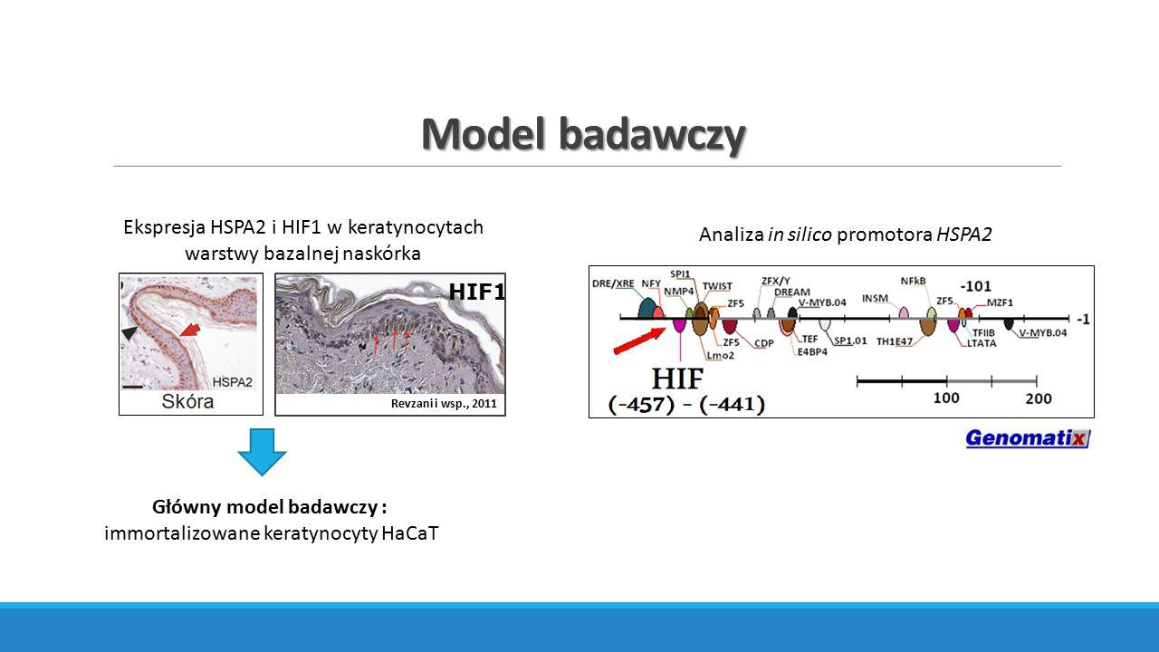 Główny cel pracy doktorskiej Wyjaśnienie czy w keratynocytach aktywność genu HSPA2 może być modulowana poprzez oddziaływanie czynnika transkrypcyjnego HIF-1 z sekwencją HRE.