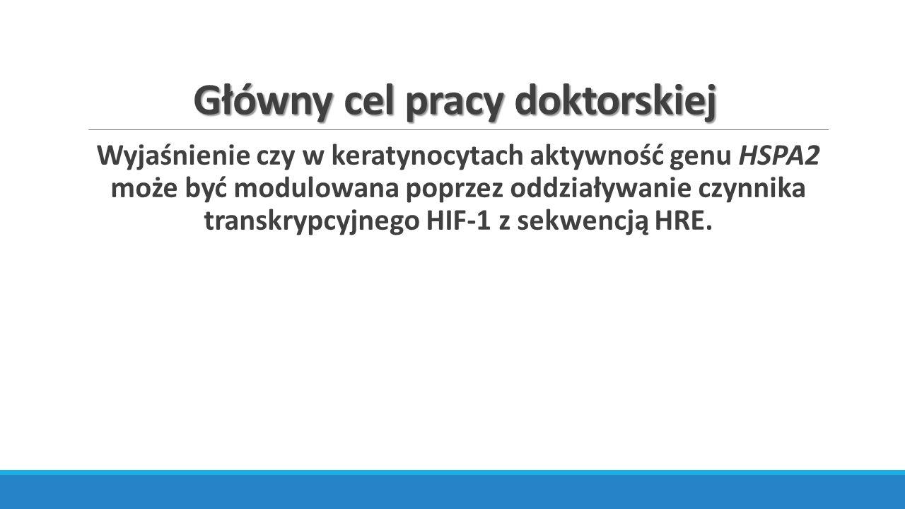 Hipoksja – 1% O 2 Stabilizacja białka HIF-1α Poziom transkryptów genów markerowych: CAIX, GLUT1, NDRG1 Poziom transkryptów HSPA2 Poziom białka HSPA2 Oddziaływanie HIF-1 z HRE –> ChIP-qPCR Analiza funkcjonalna promotora -> Dual Lucyferase Reporter Assay System (Promega)