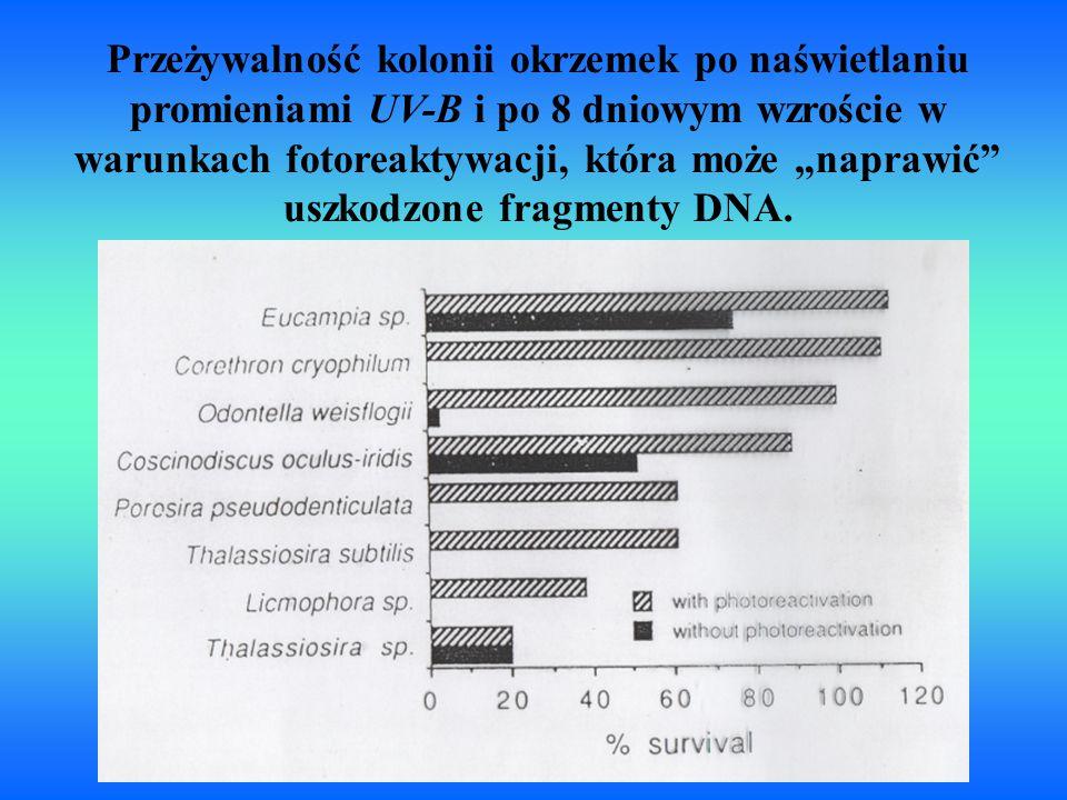 """Przeżywalność kolonii okrzemek po naświetlaniu promieniami UV-B i po 8 dniowym wzroście w warunkach fotoreaktywacji, która może """"naprawić"""" uszkodzone"""