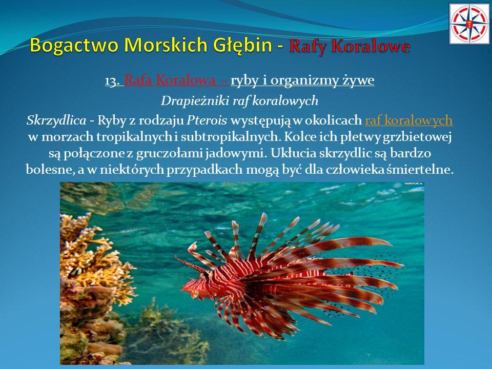 13. Rafa Koralowa – ryby i organizmy żywe Drapieżniki raf koralowych Skrzydlica - Ryby z rodzaju Pterois występują w okolicach raf koralowych w morzac