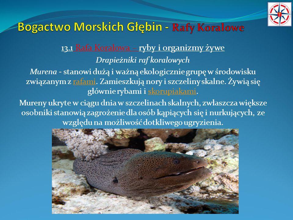 13.1 Rafa Koralowa – ryby i organizmy żywe Drapieżniki raf koralowych Murena - stanowi dużą i ważną ekologicznie grupę w środowisku związanym z rafami