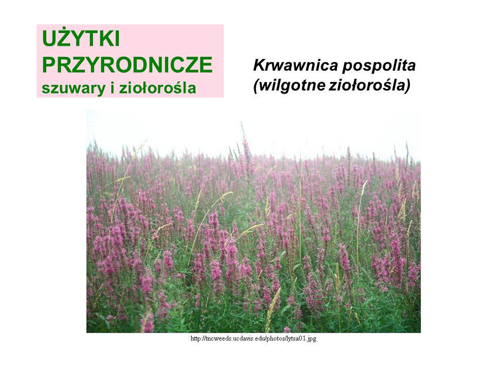 UŻYTKI PRZYRODNICZE szuwary i ziołorośla Krwawnica pospolita (wilgotne ziołorośla)