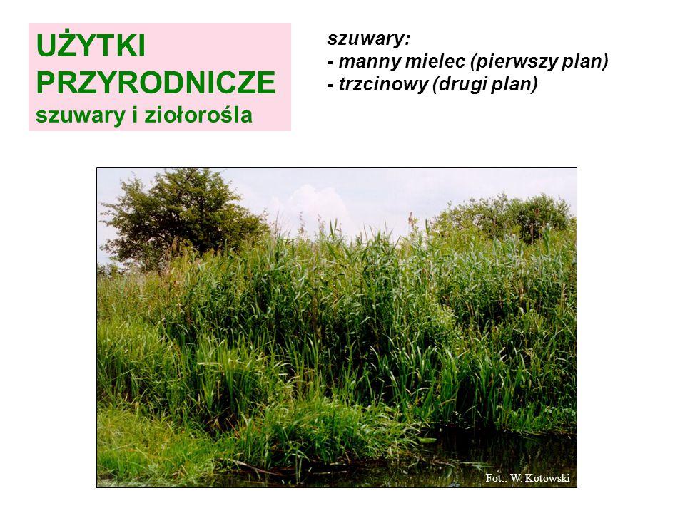 szuwary: - manny mielec (pierwszy plan) - trzcinowy (drugi plan) Fot.: W.