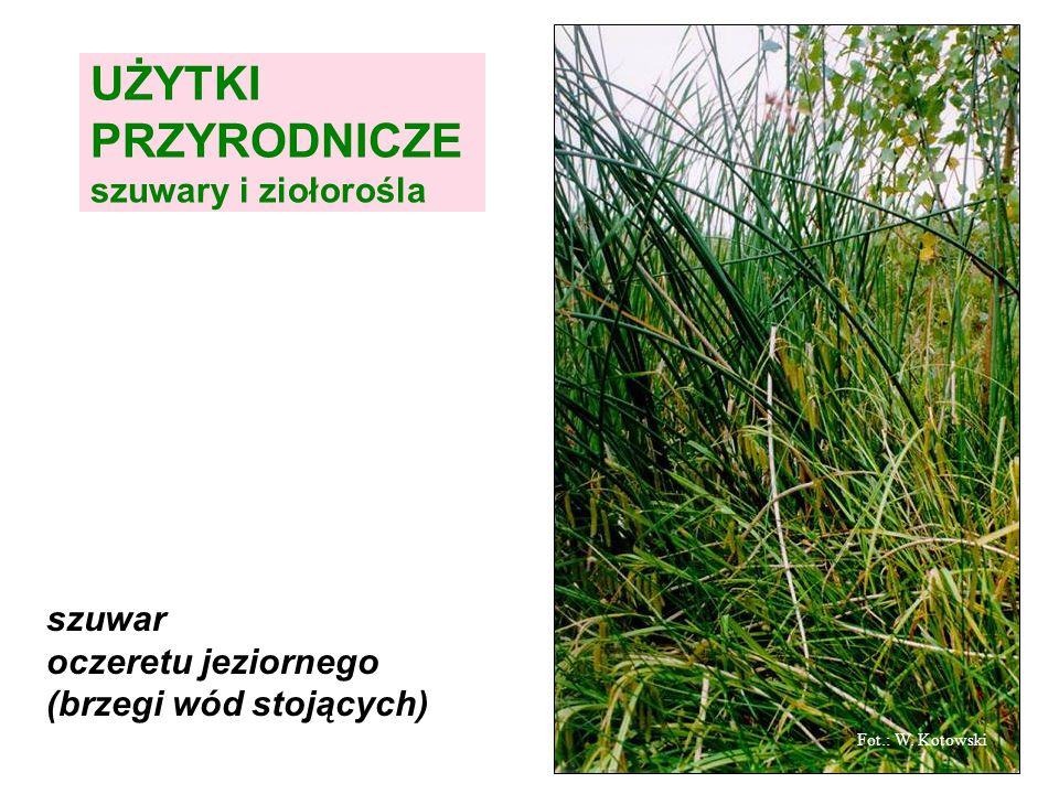 szuwar oczeretu jeziornego (brzegi wód stojących) Fot.: W. Kotowski