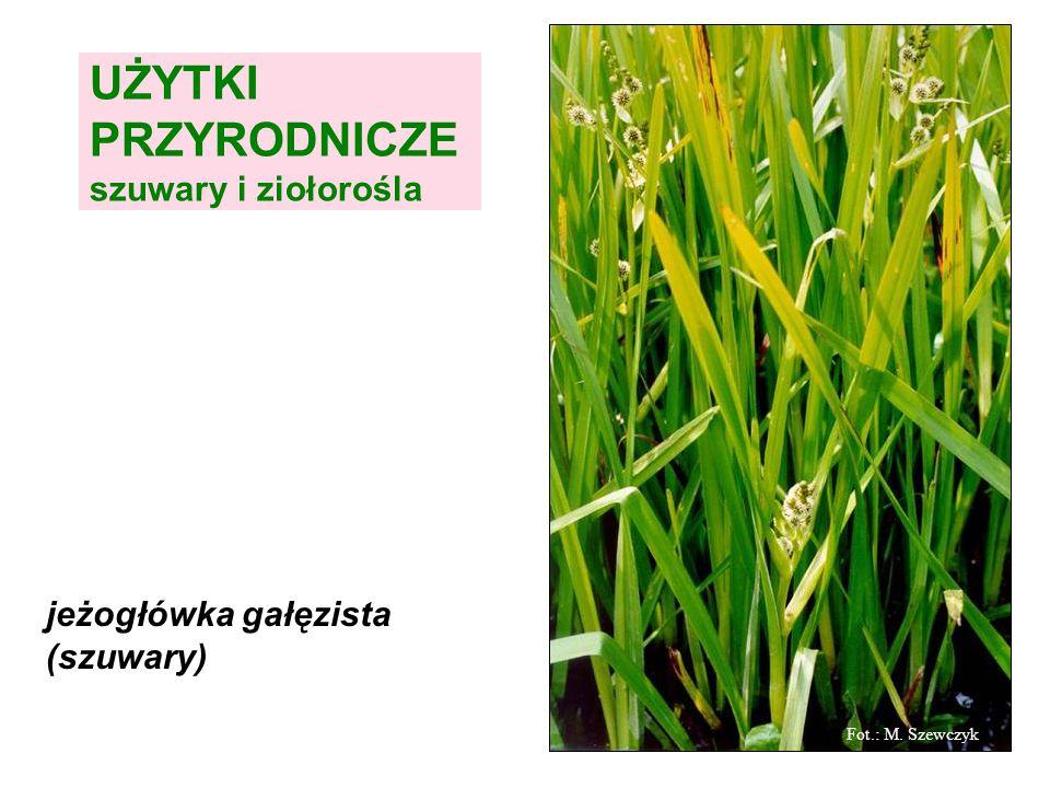UŻYTKI PRZYRODNICZE szuwary i ziołorośla jeżogłówka gałęzista (szuwary) Fot.: M. Szewczyk