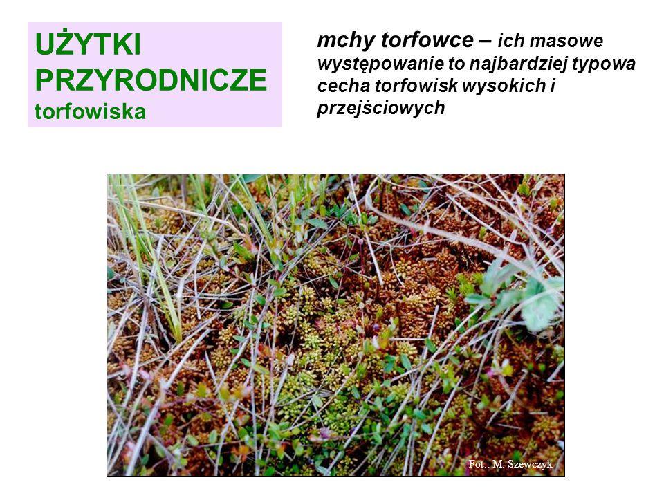 mchy torfowce – ich masowe występowanie to najbardziej typowa cecha torfowisk wysokich i przejściowych Fot.: M.
