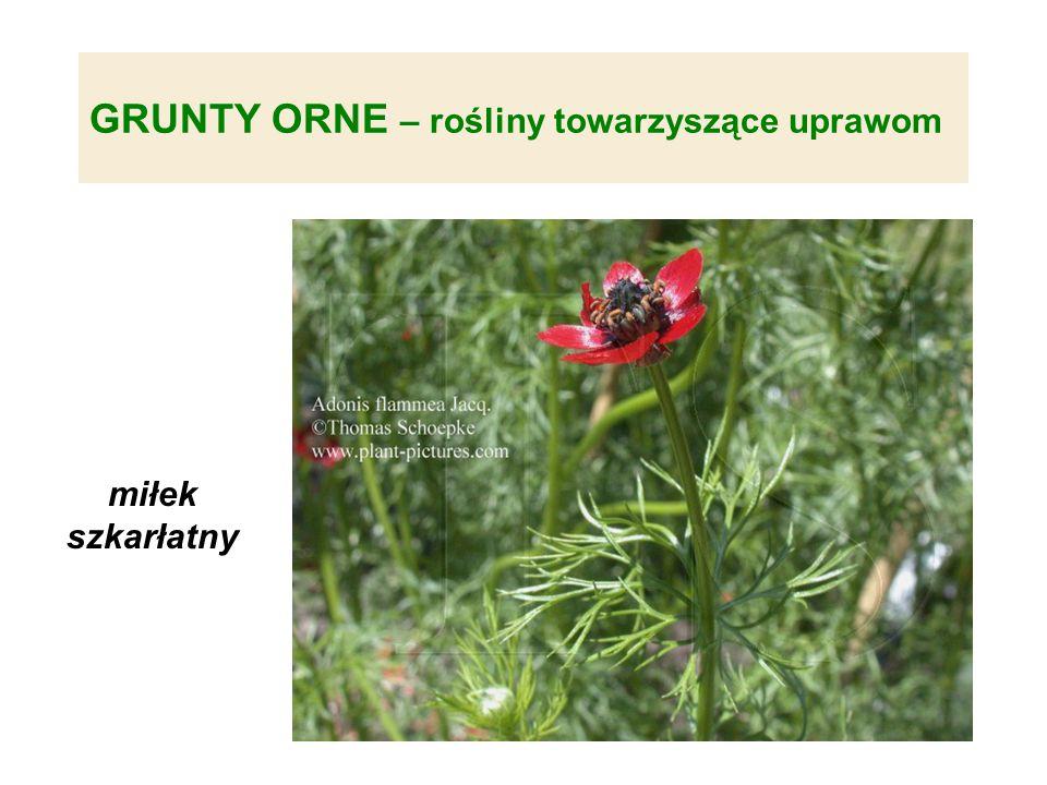 GRUNTY ORNE – rośliny towarzyszące uprawom miłek szkarłatny