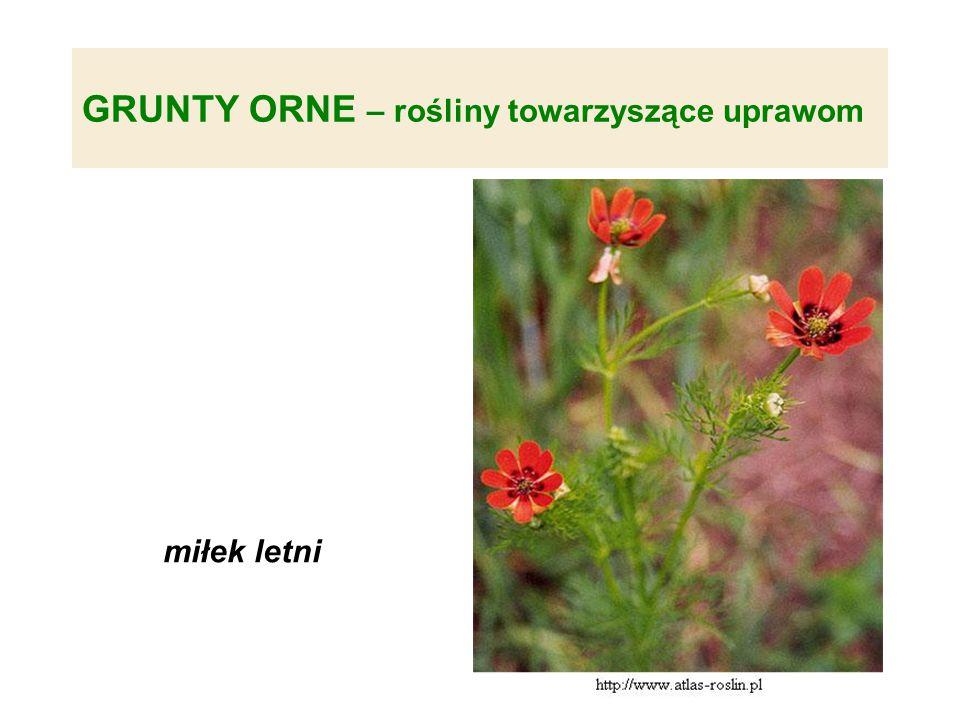 GRUNTY ORNE – rośliny towarzyszące uprawom miłek letni