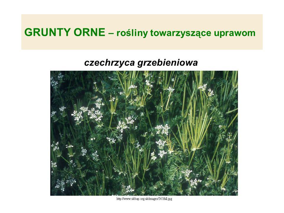 GRUNTY ORNE – rośliny towarzyszące uprawom czechrzyca grzebieniowa