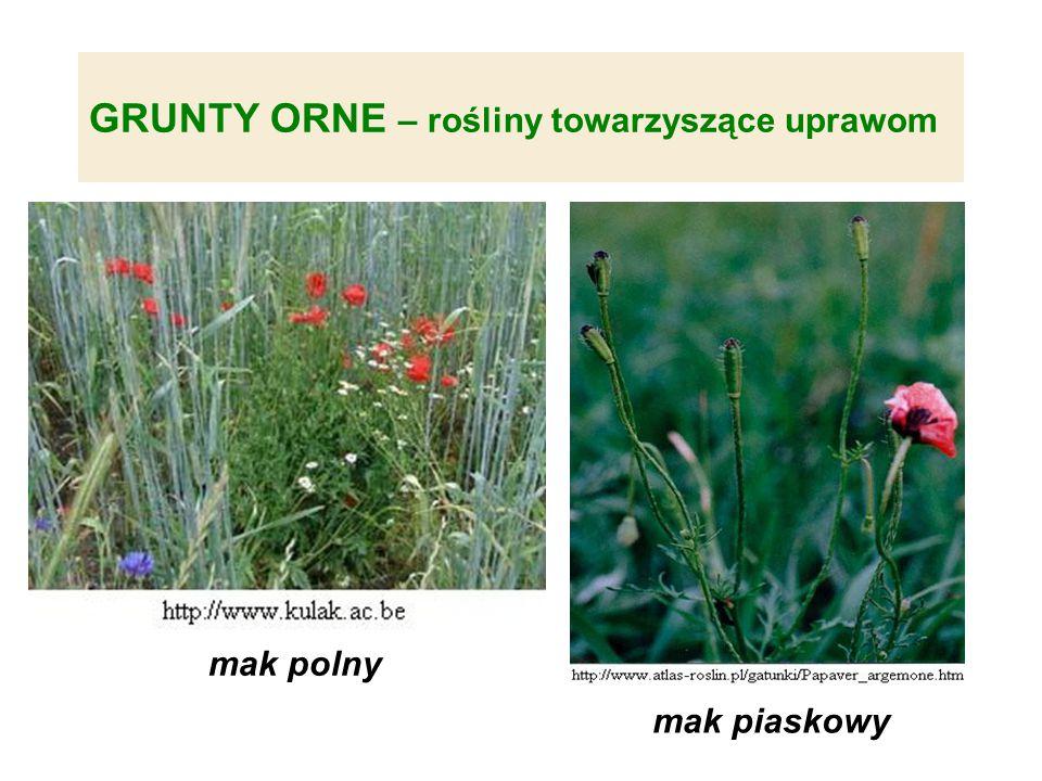 GRUNTY ORNE – rośliny towarzyszące uprawom mak piaskowy mak polny