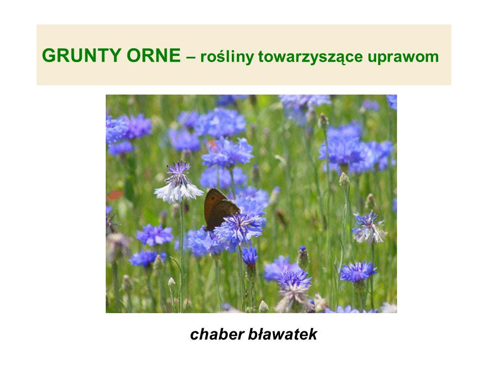 GRUNTY ORNE – rośliny towarzyszące uprawom chaber bławatek