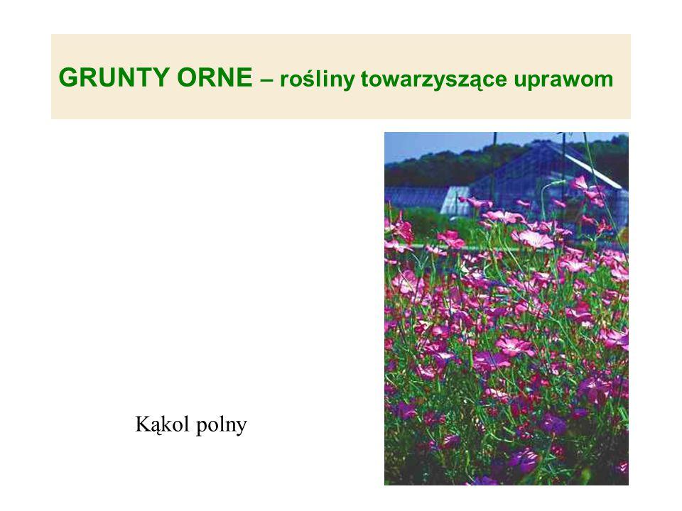GRUNTY ORNE – rośliny towarzyszące uprawom Kąkol polny
