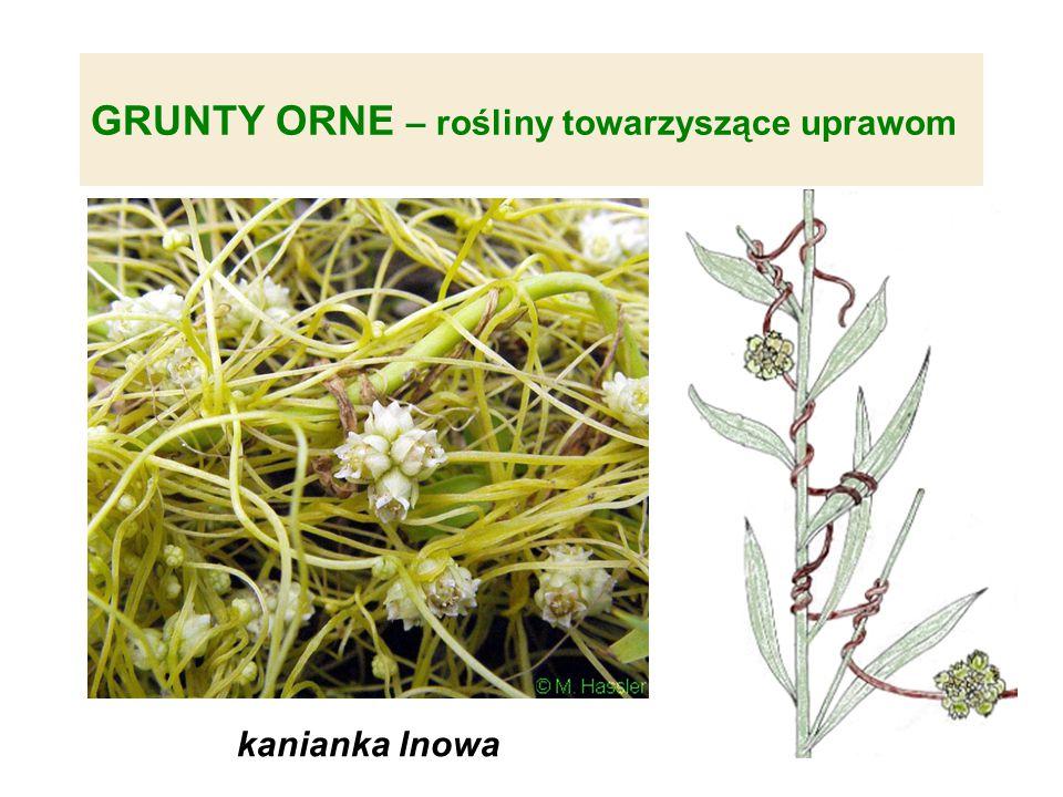 GRUNTY ORNE – rośliny towarzyszące uprawom kanianka lnowa