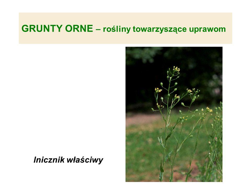 GRUNTY ORNE – rośliny towarzyszące uprawom lnicznik właściwy
