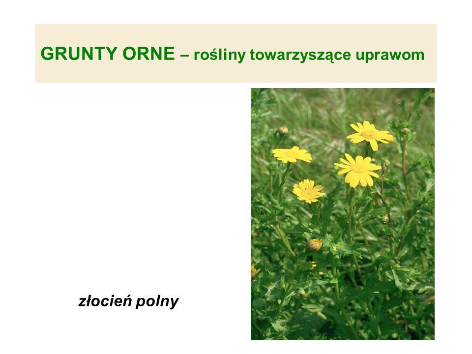 GRUNTY ORNE – rośliny towarzyszące uprawom złocień polny