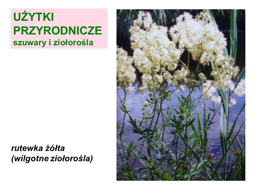 UŻYTKI PRZYRODNICZE szuwary i ziołorośla kozłek lekarski (wilgotne ziołorośla) Fot.: W. Kotowski
