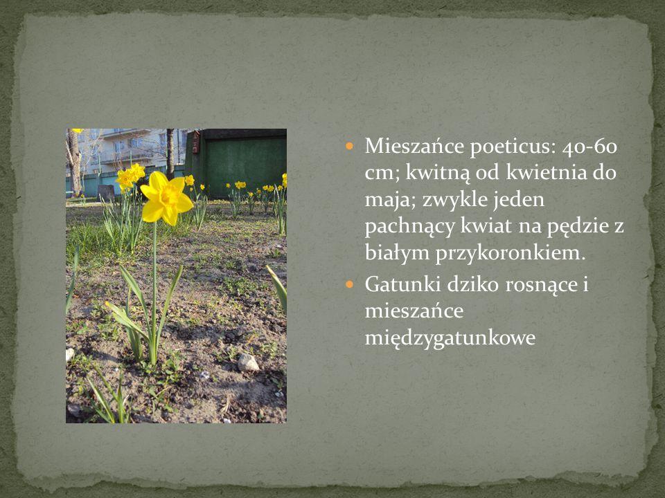 Mieszańce poeticus: 40-60 cm; kwitną od kwietnia do maja; zwykle jeden pachnący kwiat na pędzie z białym przykoronkiem. Gatunki dziko rosnące i miesza