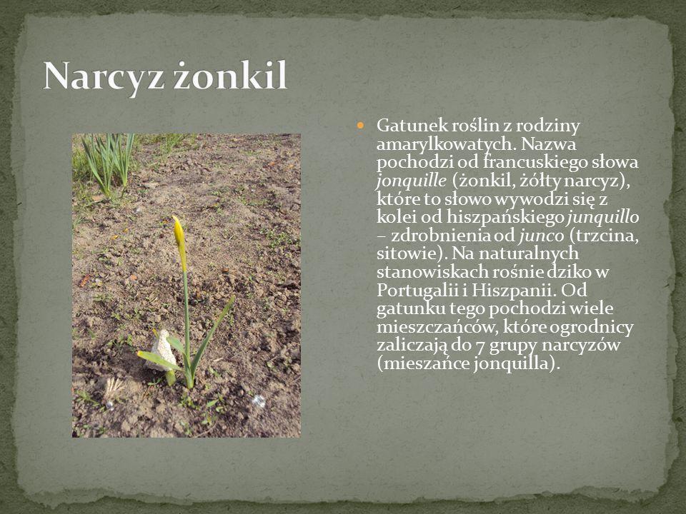 U typowej formy gatunku na jednym pędzie osadzonych jest 2-6 pachnących kwiatów, barwy żółtej i mają żółty przykoronek krótszy od płaskich listków okwiatu.