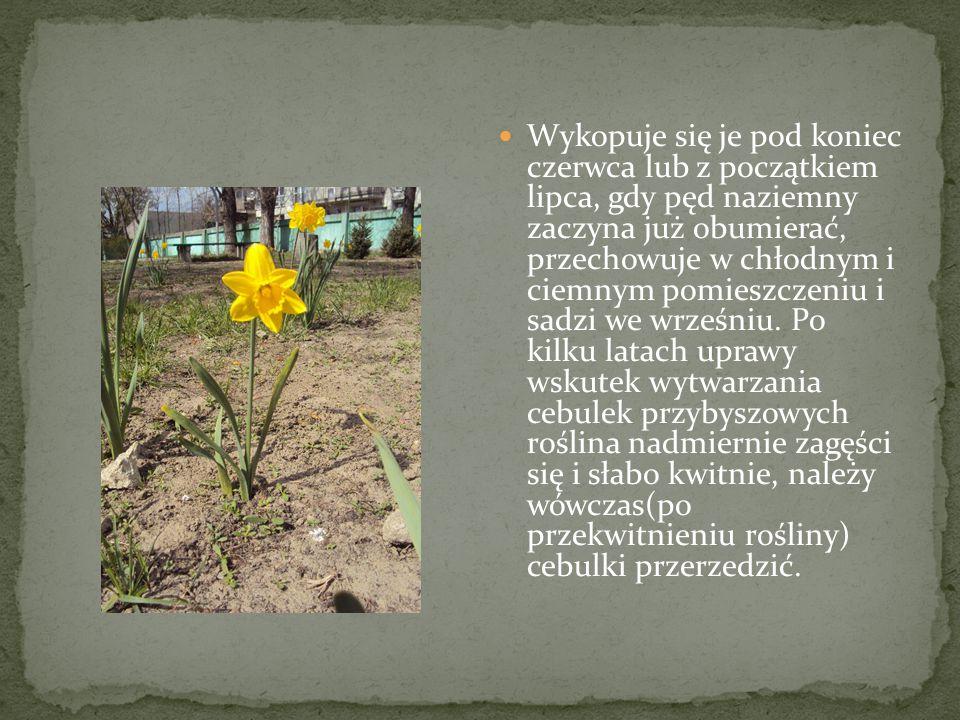 Żonkil jest po prostu polską, zwyczajową nazwą stosowaną do określania tego gatunku.
