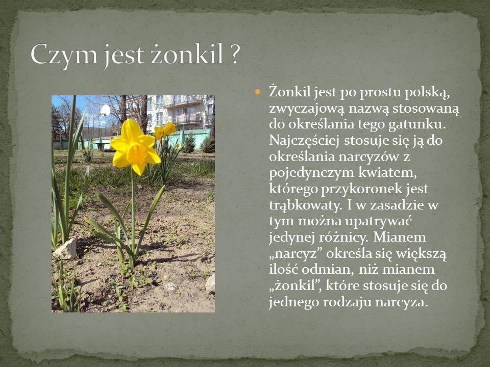 Żonkil jest po prostu polską, zwyczajową nazwą stosowaną do określania tego gatunku. Najczęściej stosuje się ją do określania narcyzów z pojedynczym k
