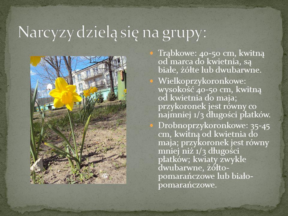 Trąbkowe: 40-50 cm, kwitną od marca do kwietnia, są białe, żółte lub dwubarwne. Wielkoprzykoronkowe: wysokość 40-50 cm, kwitną od kwietnia do maja; pr