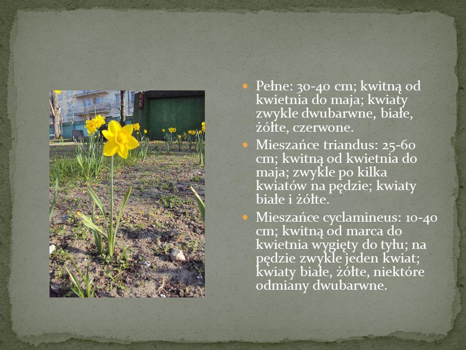 Pełne: 30-40 cm; kwitną od kwietnia do maja; kwiaty zwykle dwubarwne, białe, żółte, czerwone. Mieszańce triandus: 25-60 cm; kwitną od kwietnia do maja