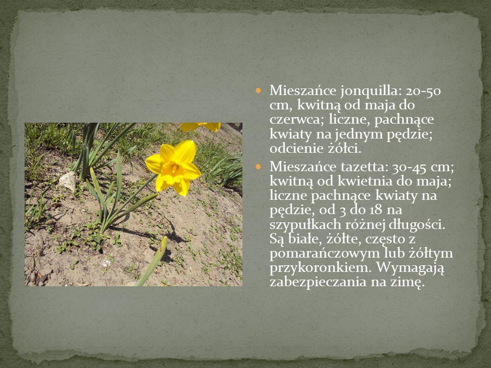 Mieszańce jonquilla: 20-50 cm, kwitną od maja do czerwca; liczne, pachnące kwiaty na jednym pędzie; odcienie żółci. Mieszańce tazetta: 30-45 cm; kwitn
