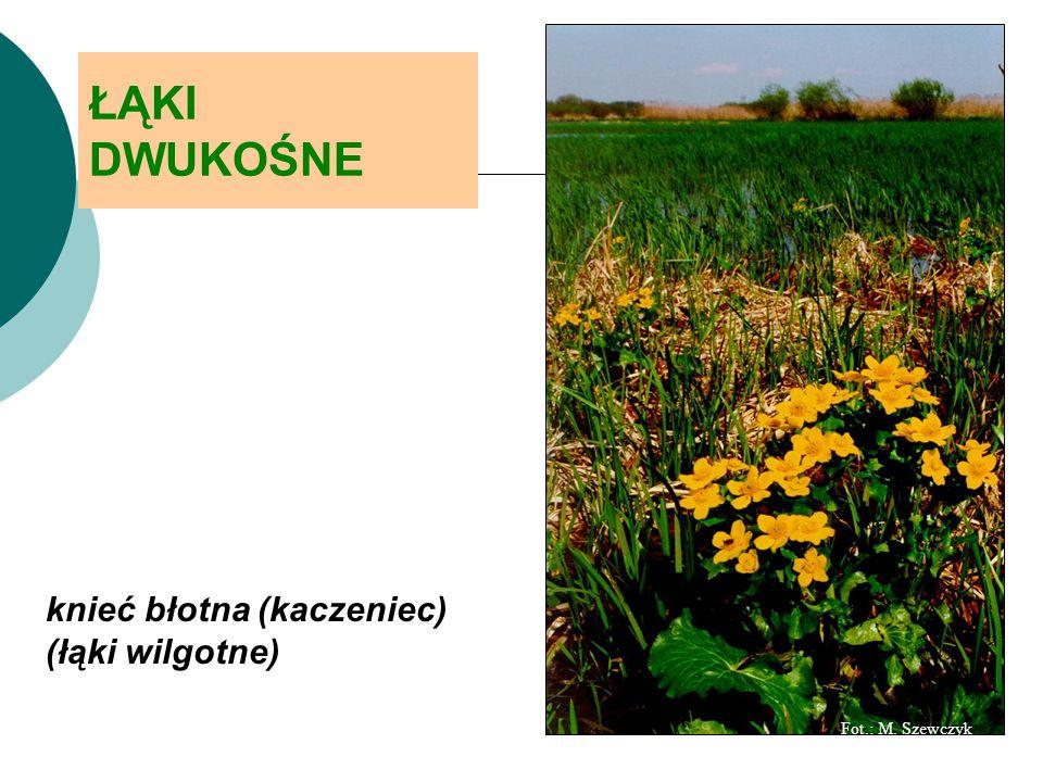ŁĄKI DWUKOŚNE knieć błotna (kaczeniec) (łąki wilgotne) Fot.: M. Szewczyk