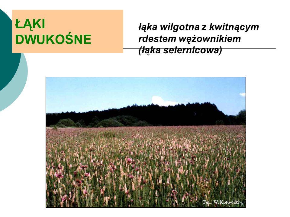 ŁĄKI DWUKOŚNE łąka wilgotna z kwitnącym rdestem wężownikiem (łąka selernicowa) Fot.: W. Kotowski