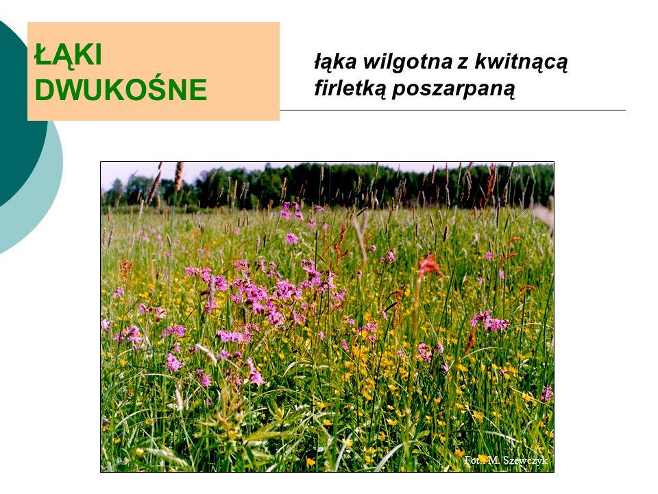 ŁĄKI DWUKOŚNE łąka wilgotna z kwitnącą firletką poszarpaną Fot.: M. Szewczyk