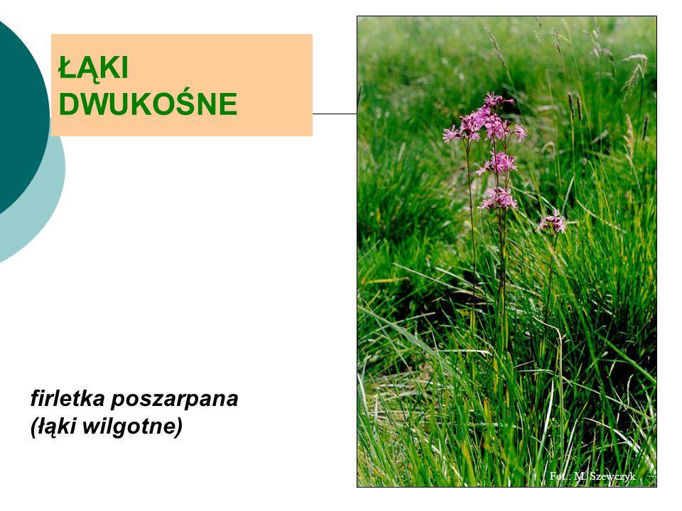 ŁĄKI DWUKOŚNE firletka poszarpana (łąki wilgotne) Fot.: M. Szewczyk
