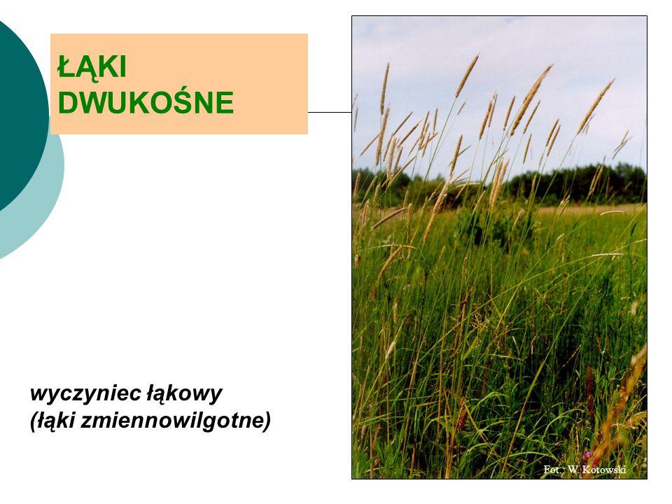 ŁĄKI DWUKOŚNE wyczyniec łąkowy (łąki zmiennowilgotne) Fot.: W. Kotowski