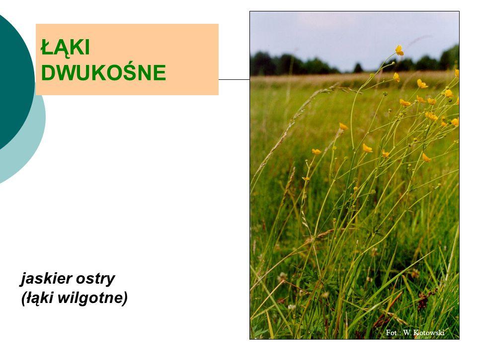 ŁĄKI DWUKOŚNE jaskier ostry (łąki wilgotne) Fot.: W. Kotowski