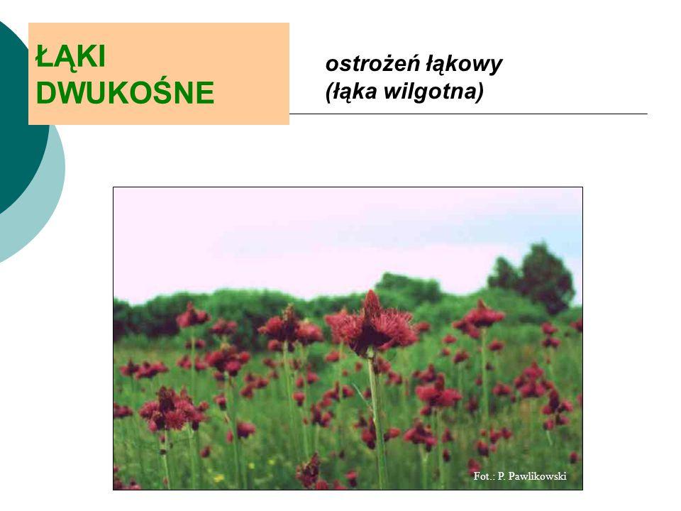 ŁĄKI DWUKOŚNE ostrożeń łąkowy (łąka wilgotna) Fot.: P. Pawlikowski