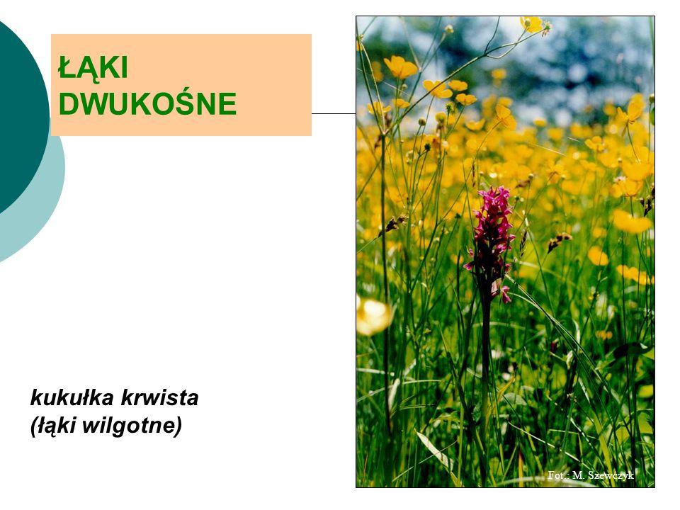 ŁĄKI DWUKOŚNE kukułka krwista (łąki wilgotne) Fot.: M. Szewczyk