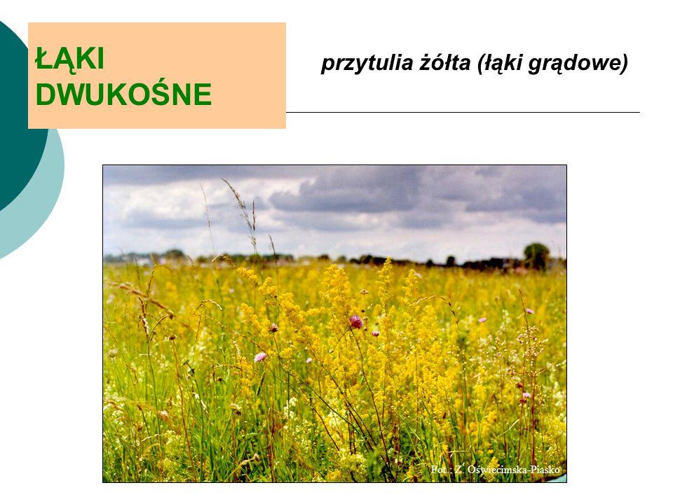 ŁĄKI DWUKOŚNE przytulia żółta (łąki grądowe) Fot.: Z. Oświecimska-Piasko