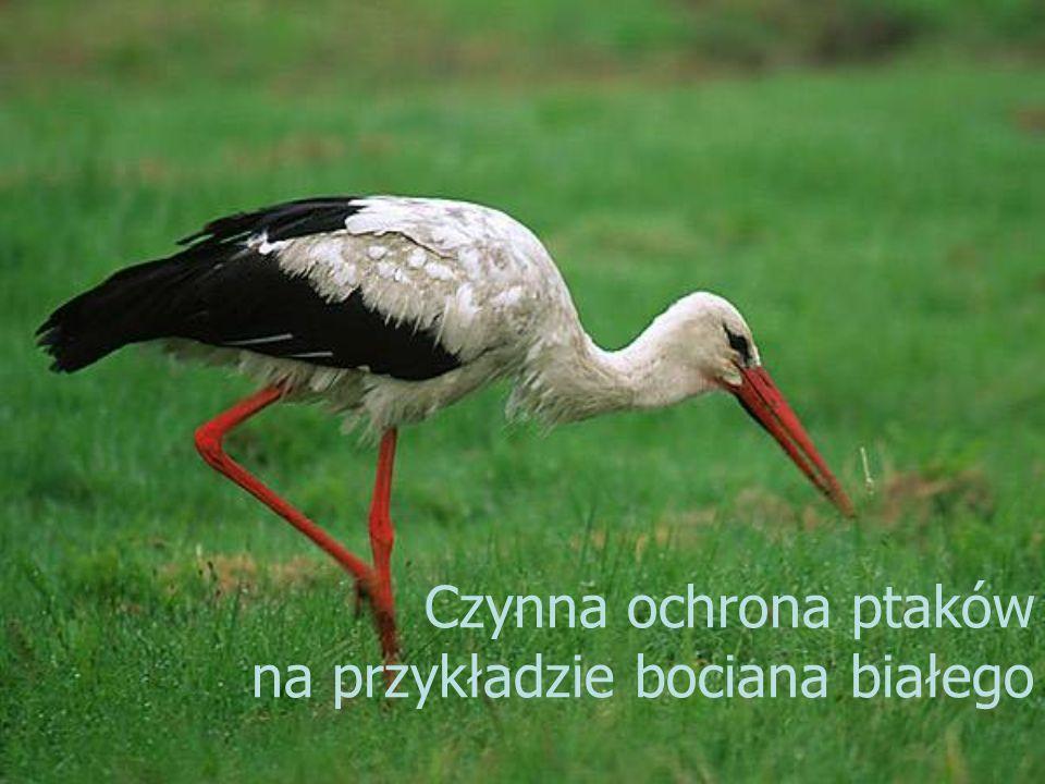 Czynna ochrona ptaków na przykładzie bociana białego