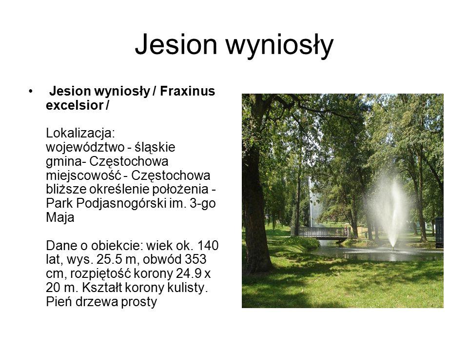 Jesion wyniosły Jesion wyniosły / Fraxinus excelsior / Lokalizacja: województwo - śląskie gmina- Częstochowa miejscowość - Częstochowa bliższe określe