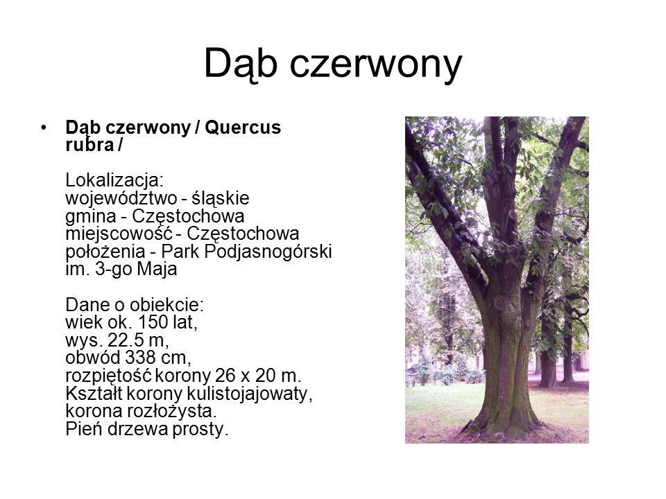 Dąb czerwony Dąb czerwony / Quercus rubra / Lokalizacja: województwo - śląskie gmina - Częstochowa miejscowość - Częstochowa położenia - Park Podjasno