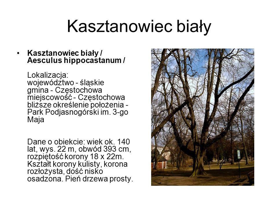 Kasztanowiec biały Kasztanowiec biały / Aesculus hippocastanum / Lokalizacja: województwo - śląskie gmina - Częstochowa miejscowość - Częstochowa bliż