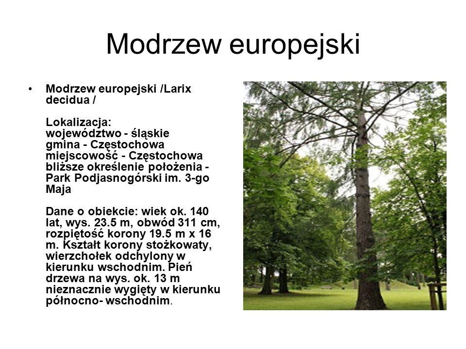 Modrzew europejski Modrzew europejski /Larix decidua / Lokalizacja: województwo - śląskie gmina - Częstochowa miejscowość - Częstochowa bliższe określ