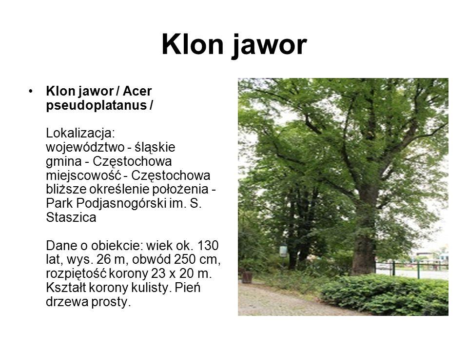 Klon jawor Klon jawor / Acer pseudoplatanus / Lokalizacja: województwo - śląskie gmina - Częstochowa miejscowość - Częstochowa bliższe określenie poło