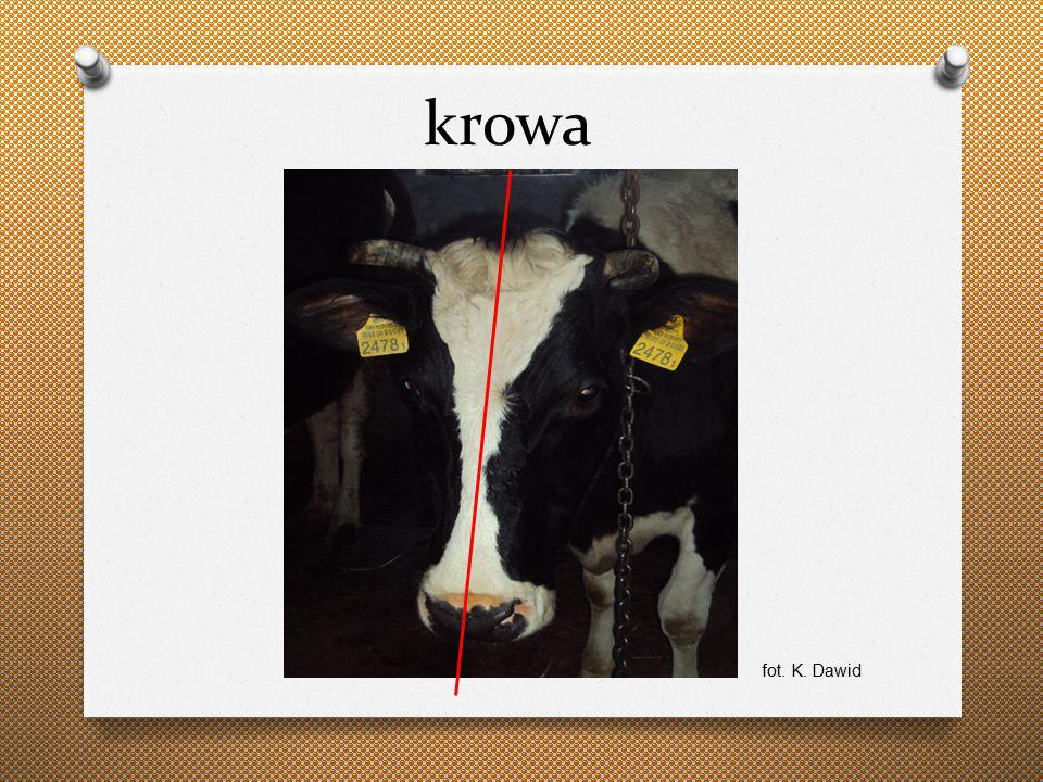 krowa fot. K. Dawid