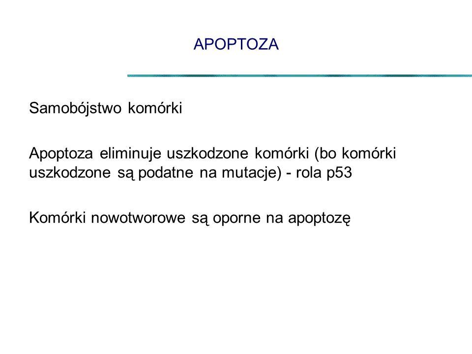 APOPTOZA Samobójstwo komórki Apoptoza eliminuje uszkodzone komórki (bo komórki uszkodzone są podatne na mutacje) - rola p53 Komórki nowotworowe są oporne na apoptozę