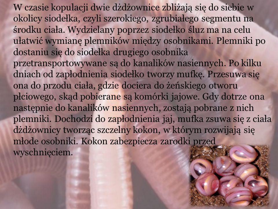 W czasie kopulacji dwie dżdżownice zbliżają się do siebie w okolicy siodełka, czyli szerokiego, zgrubiałego segmentu na środku ciała. Wydzielany poprz