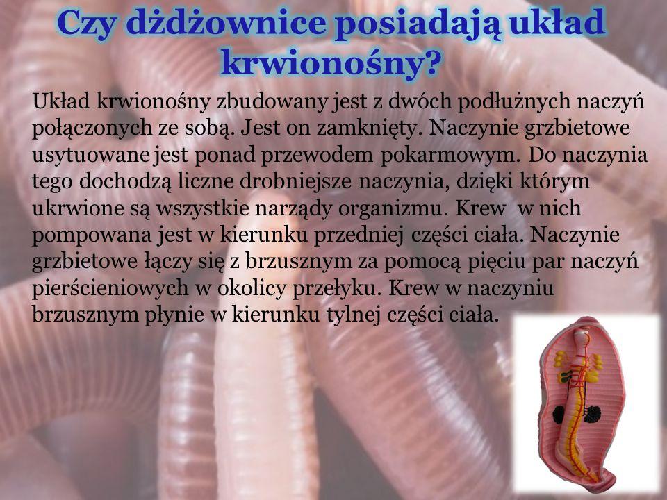 Dżdżownice to obojnaki-produkują w swoim ciele zarówno komórki jajowe jak i plemniki.