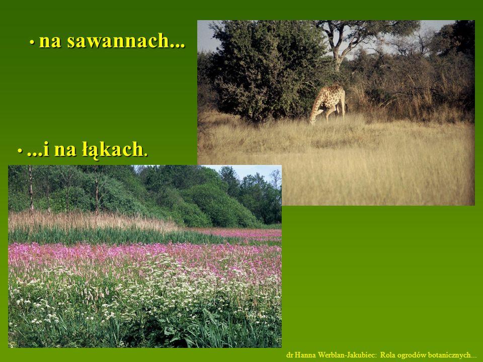 na sawannach...na sawannach......i na łąkach....i na łąkach.