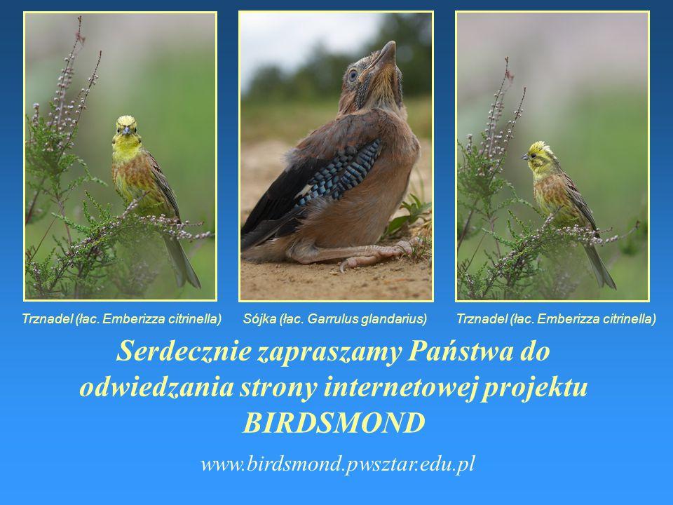 """Naśladownictwo - myszołów- szpak naśladujący myszołowa Nakładanie się głosów ptaków tzw. efekt """"coctail party"""" - ptaki śpiewające jednocześnie Rozpozn"""