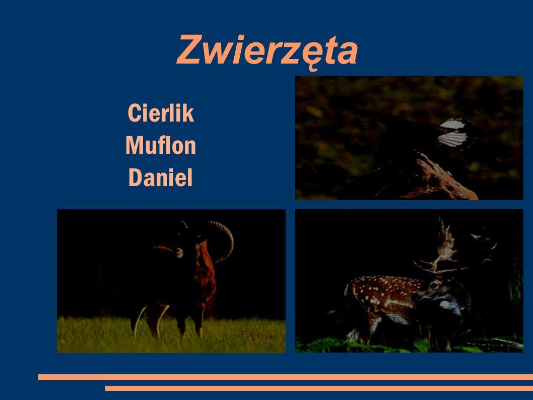 Zwierzęta Cierlik Muflon Daniel