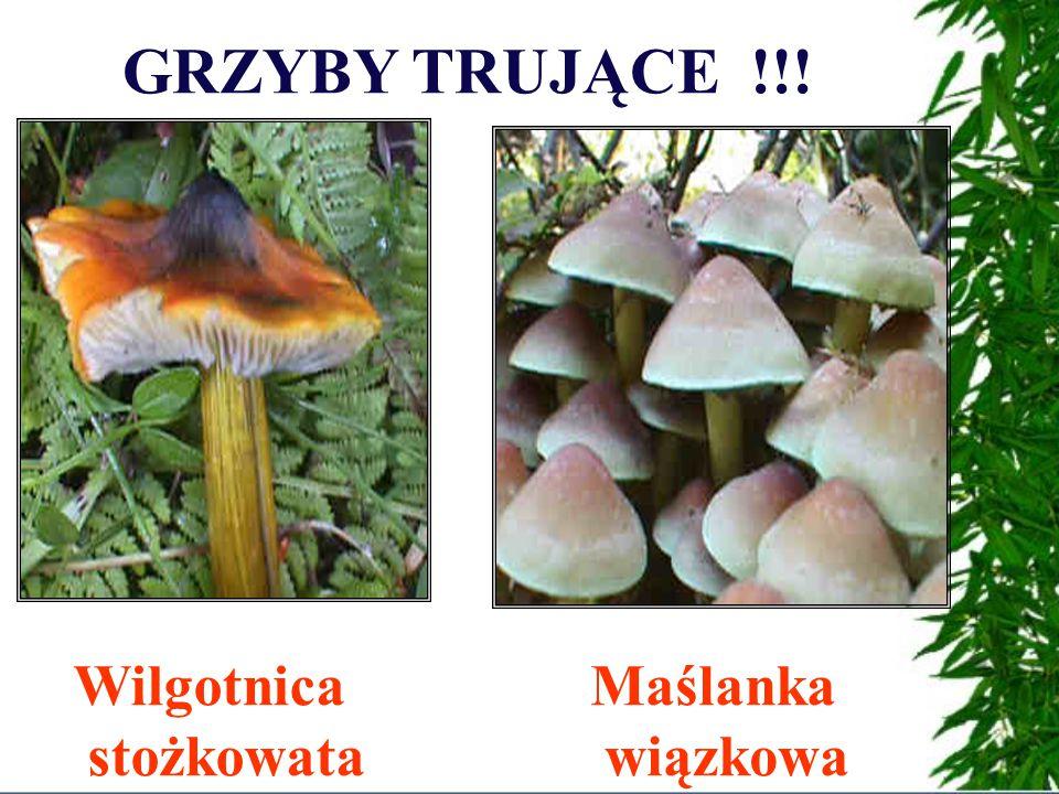 GRZYBY TRUJĄCE !!! Muchomorczerwony Muchomor sromotnikowy Najbardziej trujący polski grzyb!!!